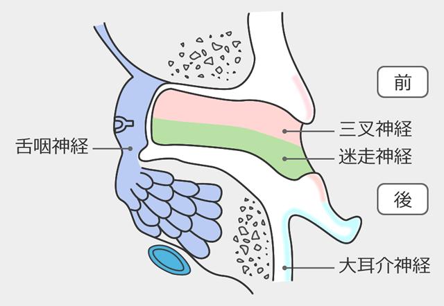 外耳道2つの神経