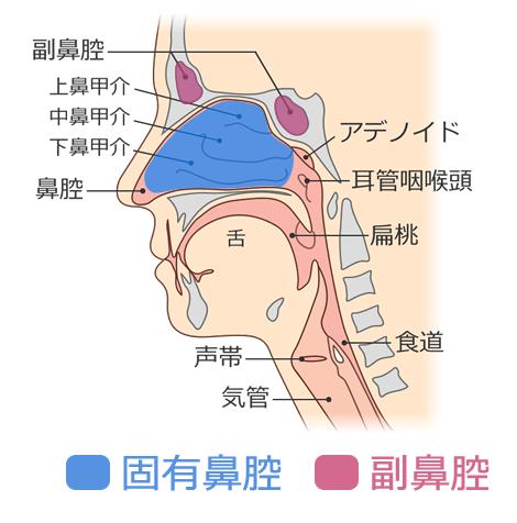 副鼻腔と固有鼻腔